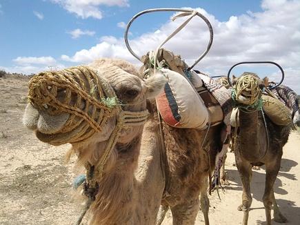 Отдых в Тунисе - экскурсия на верблюдах в пустыню